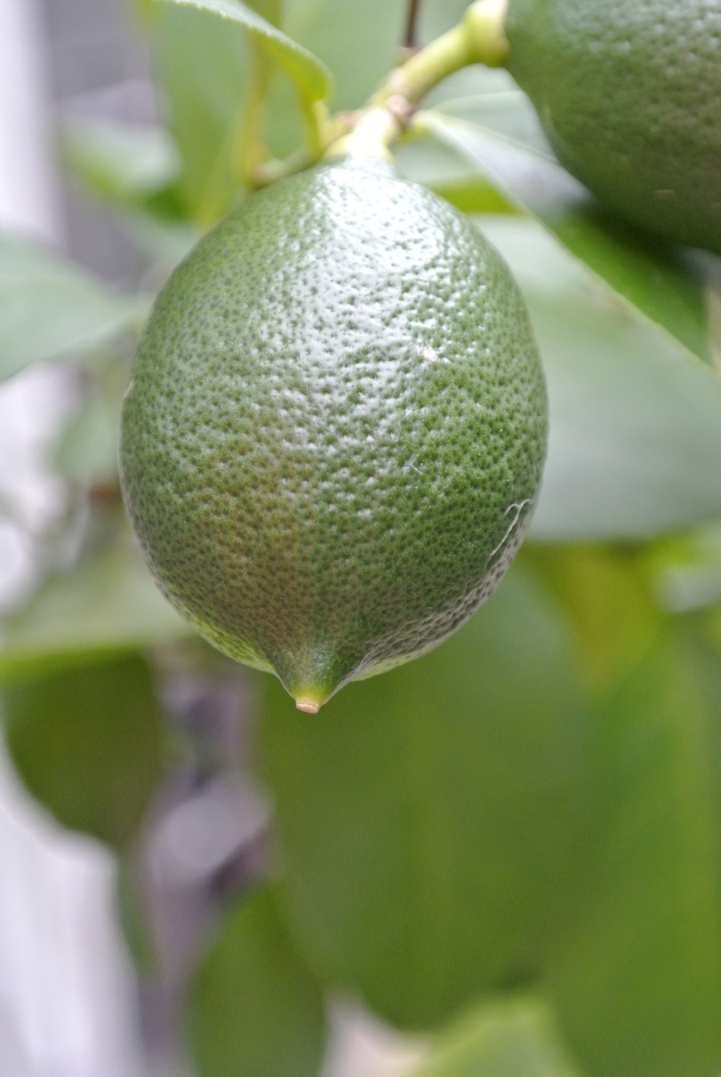 Green Meyer Lemon