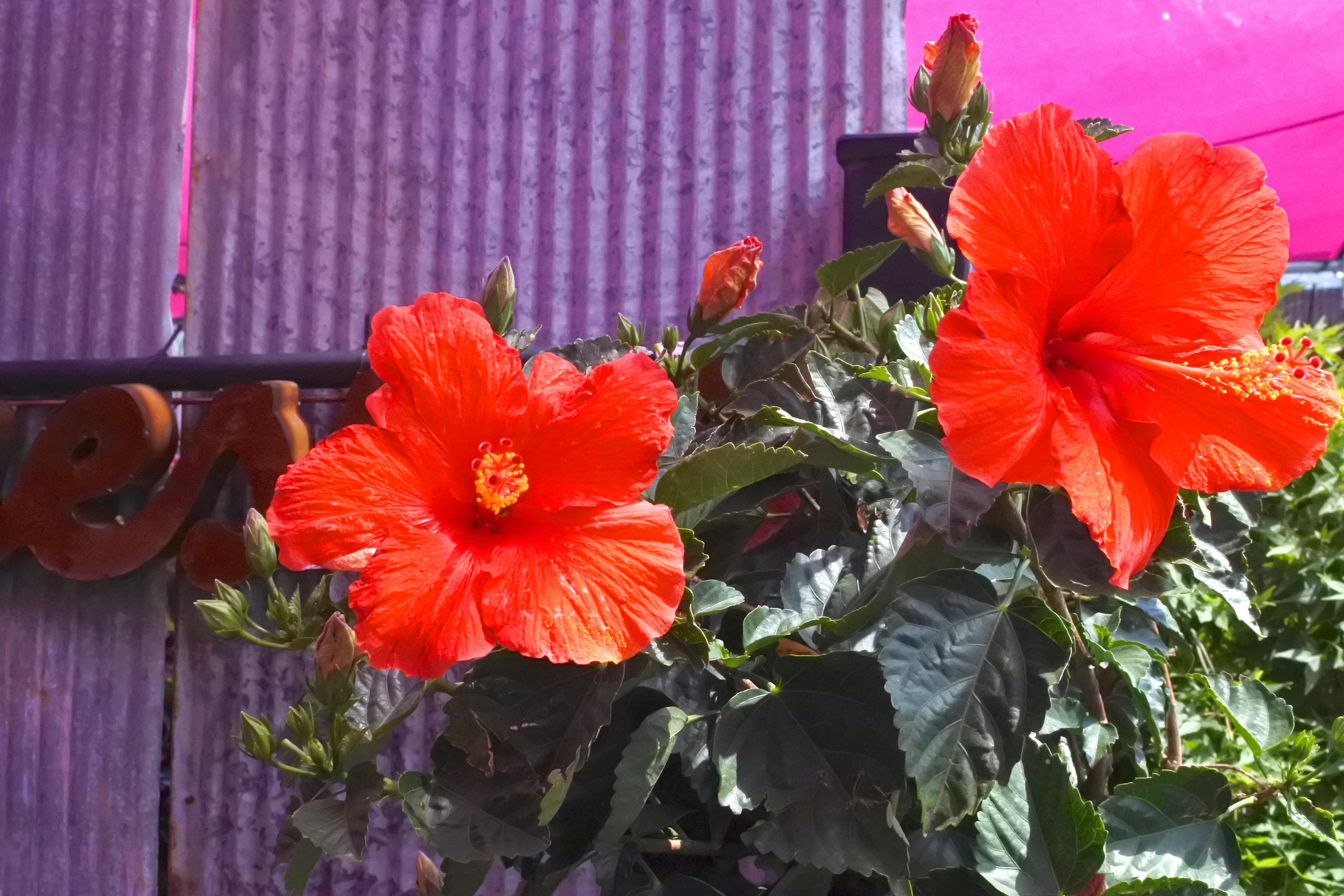 Hibiscus Flowers Kubreforic